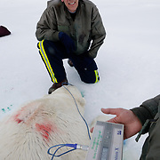 Dr. Steven Amstrup and Susie Miller collect the Bioelectric Impedance Analysis (BIA) that quantifies fat reserves of a recently immobilized polar bear on the Beaufort Sea, Alaska.