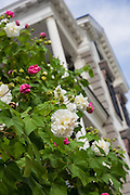 Blooming Confederate Rose in front of a historic home in Charleston.