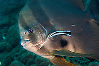 Spadefish being cleaned by a wrasse