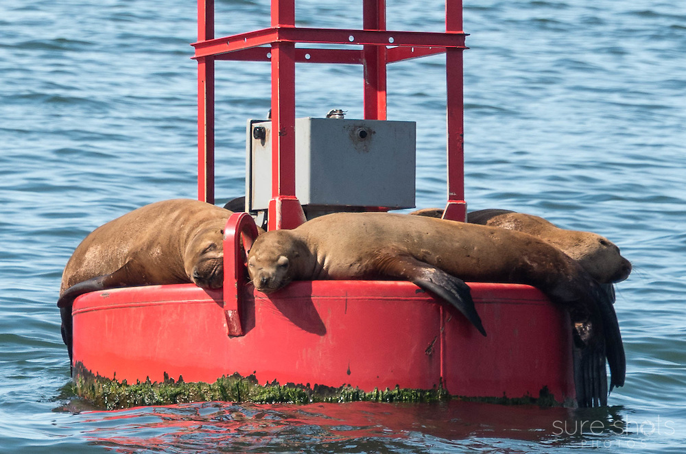 Harbor Seals, Auke Bay, AK