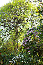 Rhododendron x decorum AGM. Greencombe Gardens, Porlock, Somerset