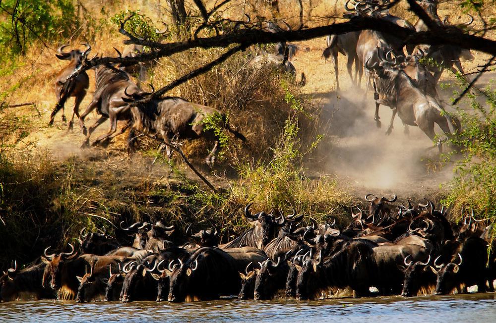 Herd of Blue Wildebeest, Grumeti, Tanzania