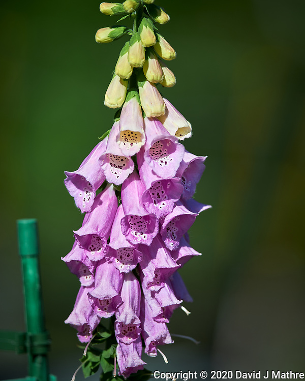 Foxglove. Image taken with a Nikon Df camera and 300 mm f/4 lens