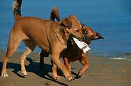 PRT, Portugal: Streunender Hund, Haushund (Canis lupus familiaris), zwei Hunde spielen mit einem Stück Styropor, sie tragen es zusammen im Maul während sie über den Strand laufen, soziales Spiel mit einem Objekt, Ferragudo, Algarve | PRT, Portugal: Stray dog, domestic dog (Canis lupus familiaris), two dogs playing with a part of styropor, together carrying it in their mouth's while walking along the beach, social play with an object, Ferragudo, Algarve |
