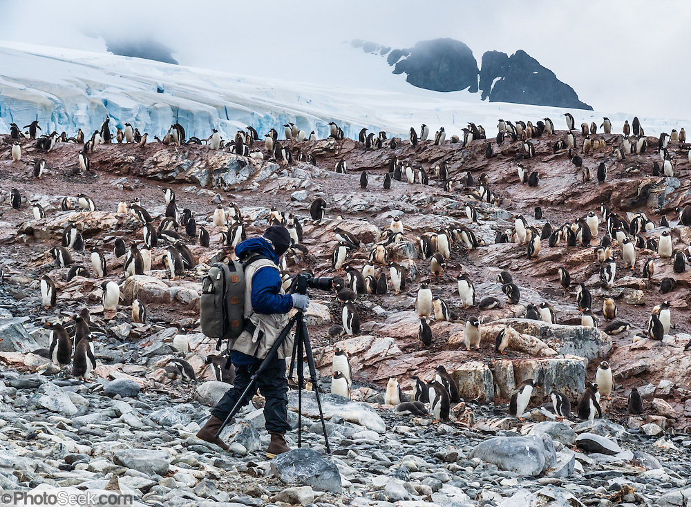 """A photographer with tripod explores a summer colony of Gentoo Penguins (Pygoscelis papua) on Cuverville Island, Antarctica. The adult Gentoo Penguin has a bright orange-red bill and a wide white stripe extending across the top of its head. Chicks have grey backs with white fronts. Of all penguins, Gentoos have the most prominent tail, which sweeps from side to side as they waddle on land, hence the scientific name Pygoscelis, """"rump-tailed."""" As the the third largest species of penguin, adult Gentoos reach 51 to 90 cm (20-36 in) high. They are the fastest underwater swimming penguin, reaching speeds of 36 km per hour. The rocky Cuverville Island is in Errera Channel off the west coast of Graham Land, the north portion of the Antarctic Peninsula. The island was discovered by the Belgian Antarctic Expedition (1897-1899) under Adrien de Gerlache, who named it for J.M.A. Cavelier de Cuverville (1834-1912), a vice admiral of the French Navy. Cuverville Island or Île de Cavelier de Cuverville is located at 64 degrees 41 minutes South Latitude and 62 degrees 38 minutes West Longitude."""