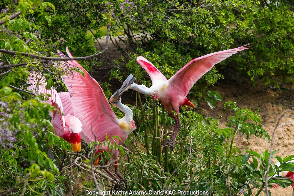 Roseate spoonbill; spring.; Texas; Platalea ajaja; coastal; High Island; breeding plumage