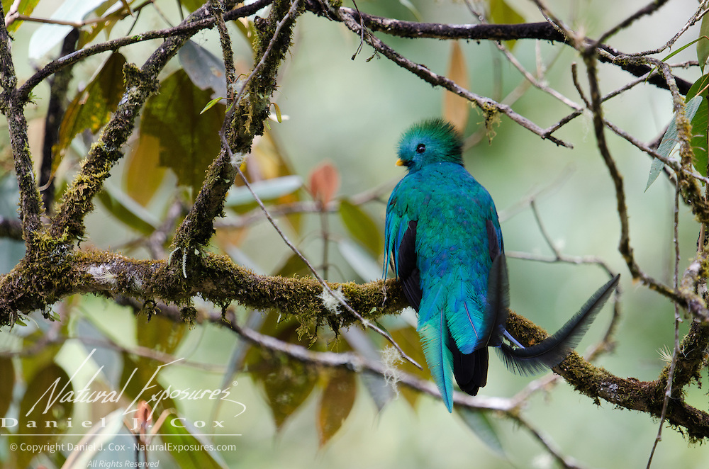 A resplendent quetzal (Pharomachrus mocinno) perched on a branch. Costa Rica