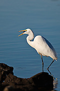 Great Egret in the act of swallowing its catch - a small fish.