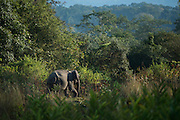 Asian elephant (Elephas maximus)<br /> Nameri Wildlife Reserve<br /> Assam<br /> North East India