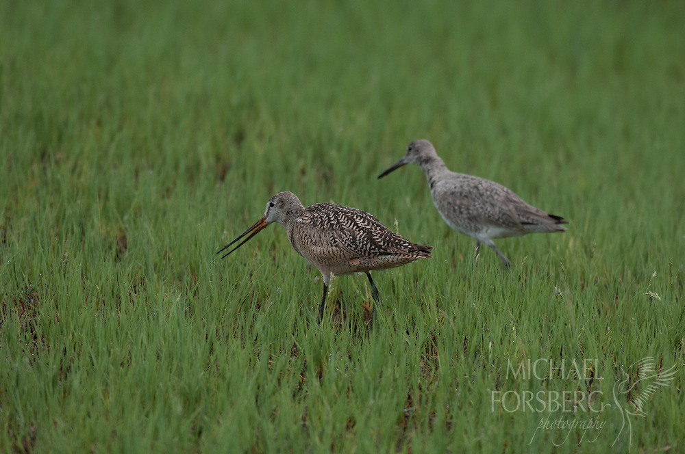 Bowdoin National Wildlife Refuge, Phillips County, Glaciated Plains, Montana<br /> <br /> Marbled godwit and Willet forage side by side in wet meadow