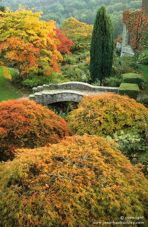 General view of the autumn colours of Acer palmatum