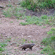 Crab-eating Mongoose (Herpestes urva) in Kaeng Krachan National Park, Thailand.