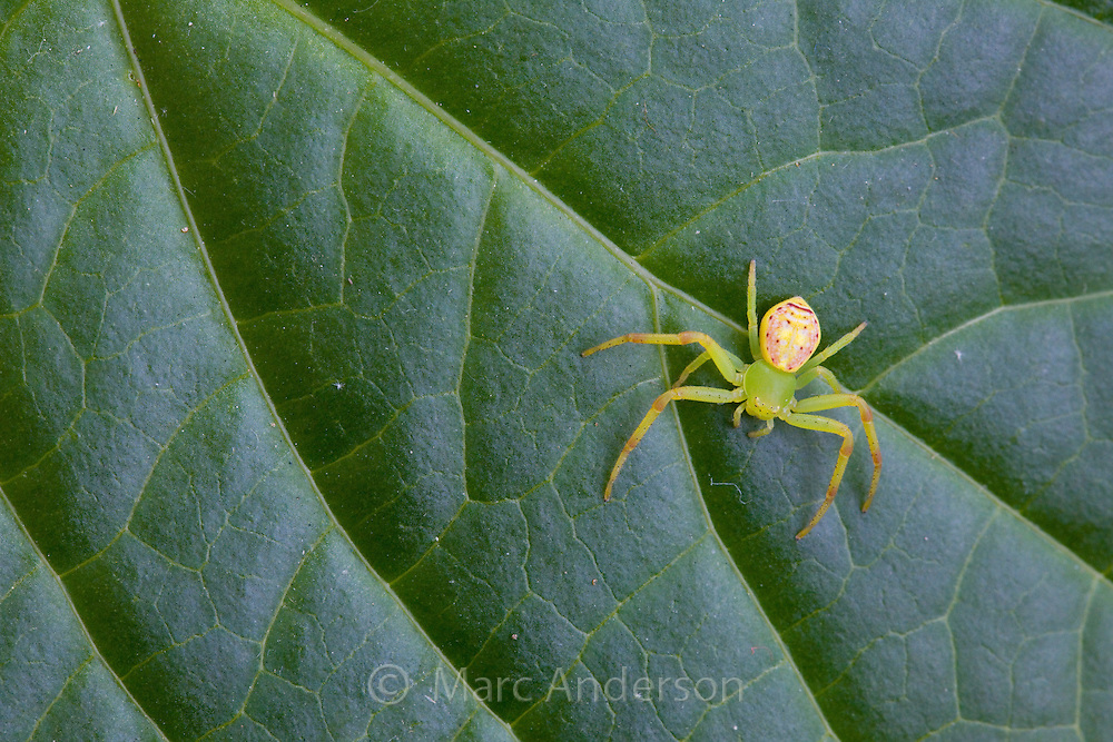 Green Flower Spider, or crab spider, Diaea evanida, Sydney, Australia