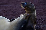 Galapagos sea lions, Zalophus wollebaeki, Galapagos islands National park, UNESCO World Heritage Site.