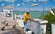 Fisherman at Bayside Marina gutting fish catch watched by Brown Pelicans and Great White Egret, Florida Keys, USA