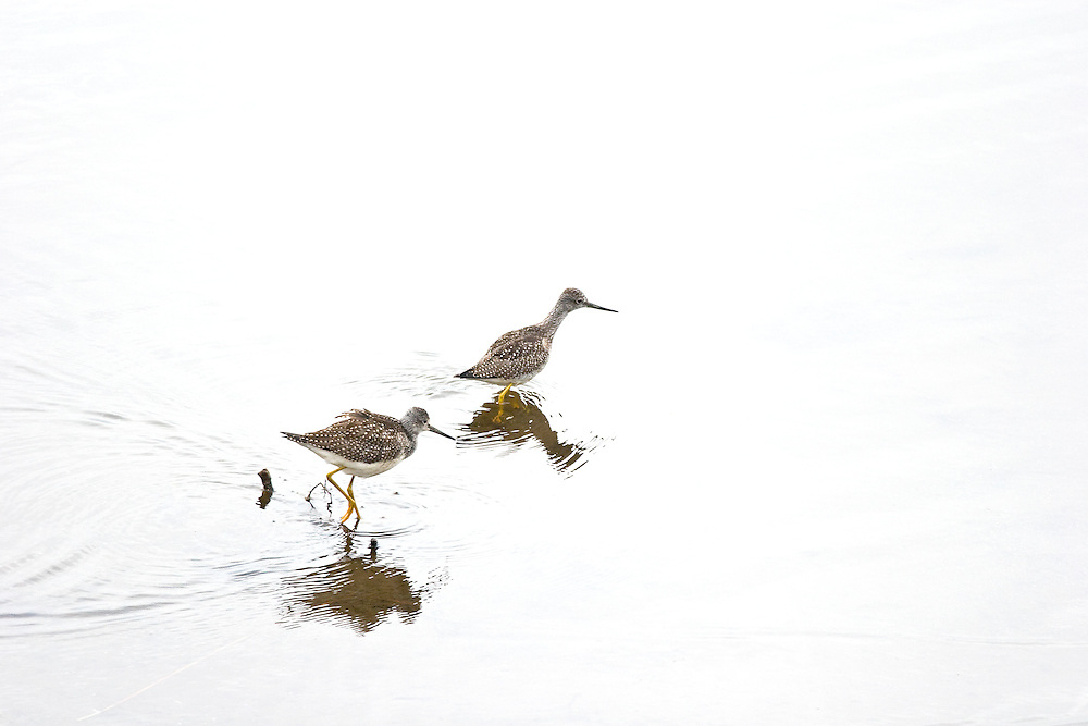 Lesser Yellow Legs wade through Potter Marsh in search of a meal.