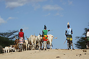 Africa, Ethiopia, Omo River Valley Hamer Tribe Herding cattle