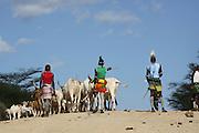 Africa, Ethiopia, Omo River Valley Hamer Tribe Herding cattle