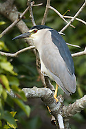 An adult black-crowned night heron perches on a stout branch above the water, Ranganathittu Bird Sanctuary, India