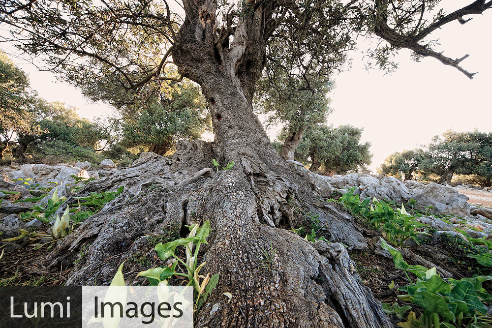 Olive Tree, Root, Growth, Ancient, Pag Island,