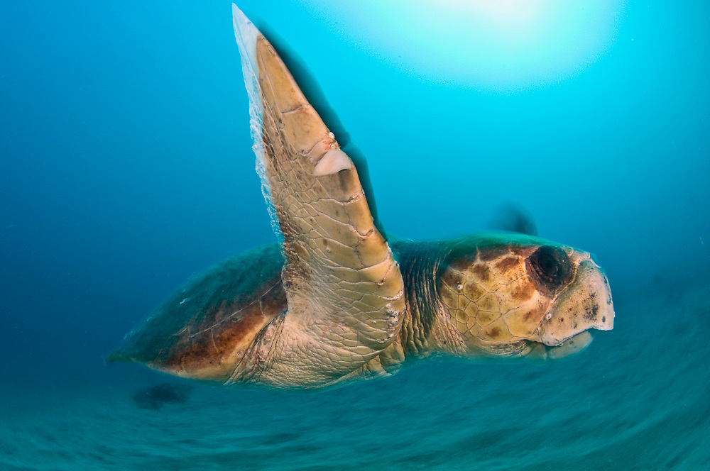 A male Loggerhead Sea Turtle (Caretta caretta) swims next to the Breakers Reef in Palm Beach, FL.
