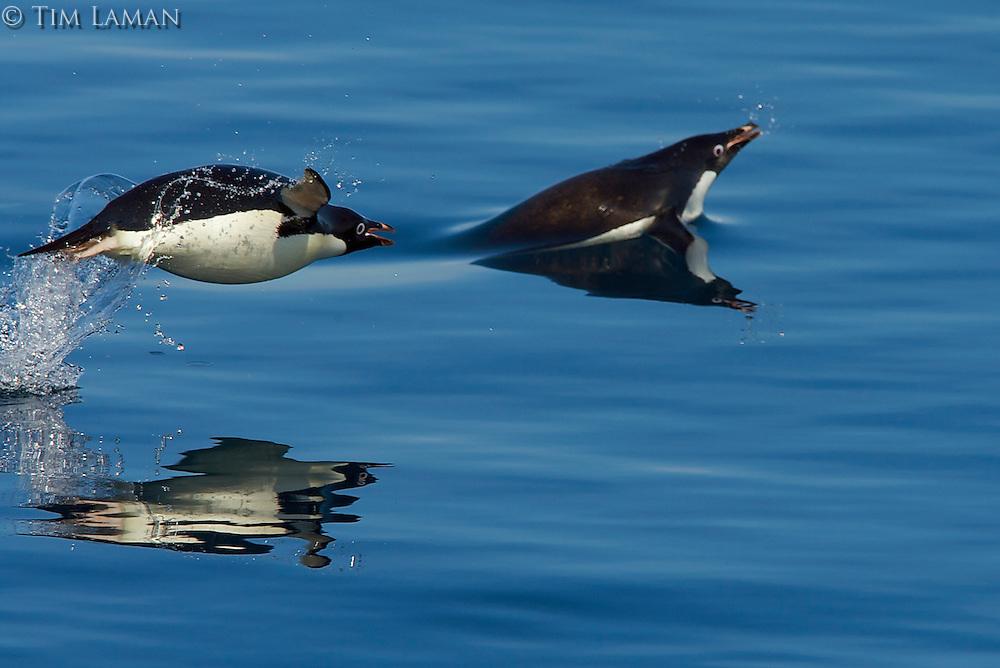 Porpoising Adelie Penguins (Pygoscelis adeliae) in the Weddell Sea.