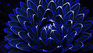An Agave victoriae reginae is light painted with blue light from a cell phone.