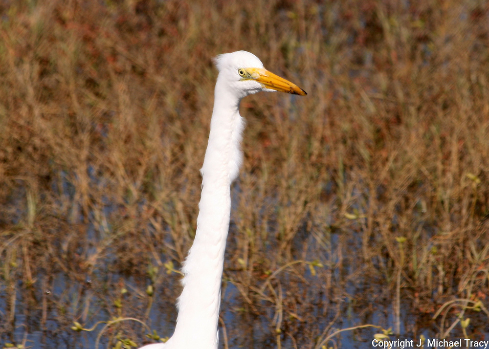 The head and neck of a great egret