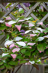 Actinidia kolomikta growing up trellis