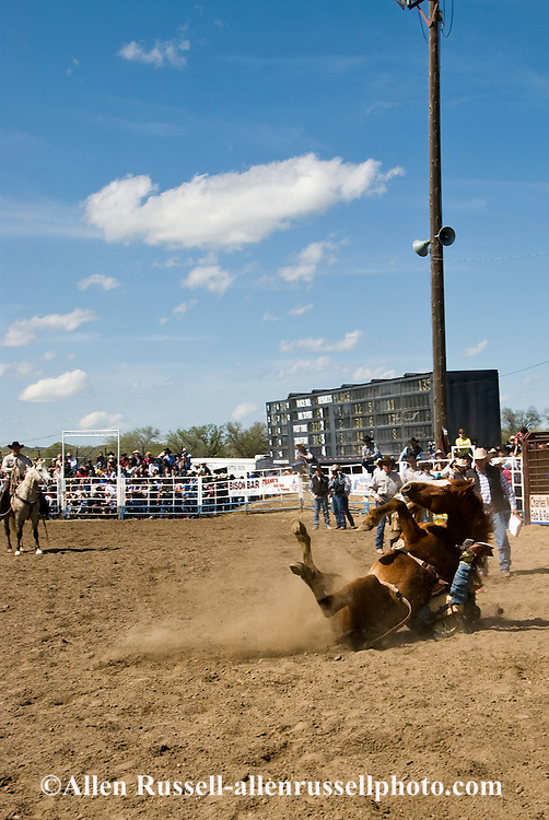 Rodeo, Bareback Bronc flips trapping rider, Miles City Bucking Horse Sale, Montana.