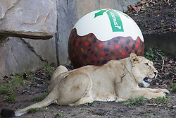 London, UK. 20th December, 2018. One of the Asiatic lionesses Heidi, Indi and Rubi enjoys a 'Christmas pudding', a giant ball scented with classic yuletide spices cinnamon and nutmeg, at ZSL London Zoo gifted by Liontrust, sponsors of the zoo's Land of the Lions.