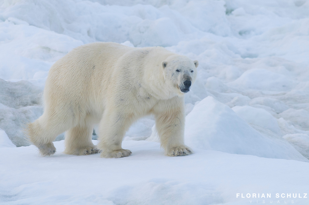 A male polar bear patroles the edge of of a lead in search of food along the pack ice edge in the Chukchi Sea, Alaska