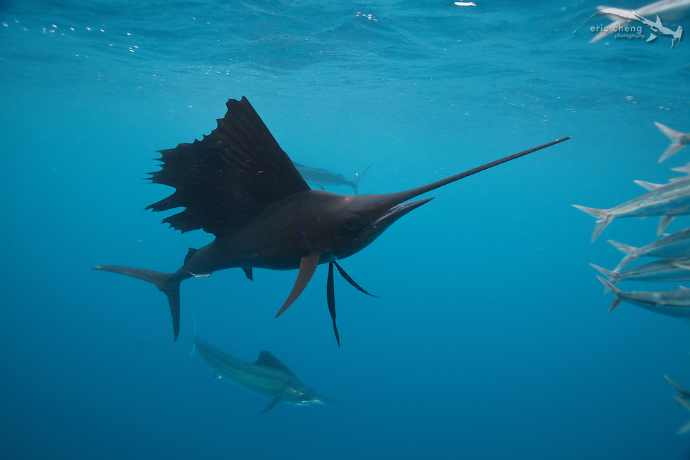 Atlantic sailfish (Istiophorus albicans) hunt sardine baitballs in Isla Mujeres, Mexico.
