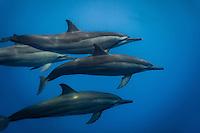 Group of Bottlenose dolphins (Tursiops truncatus) Tahiti