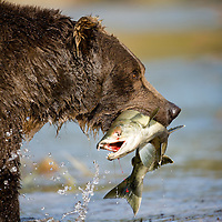 USA, Alaska, Katmai National Park, Kinak Bay, Brown Bear (Ursus arctos) carries spawning salmon in river on autumn morning