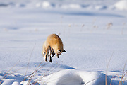 Red fox (Vulpes fulva) in winter