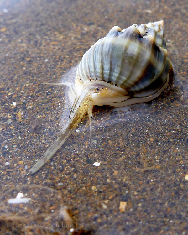 Marine snail feeding on mudflats at low tide (possibly Cancellaria sp.), Kadavu, Fiji.