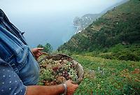 Grape harvest in Cinque Terre, Italy....© Owen Franken