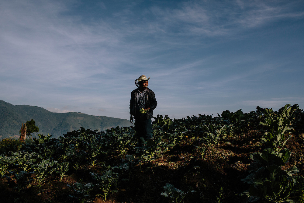 Felipe Lopez harvests cabbage, cauliflower and lettuce from Parque Agro-Ecological Ixil, in Nebaj, Guatemala. The crops use modern technology by applying drip-irrigation so crops can be grown year round without wasting water. The land, about 640 acres, was purchased by 75 farmers and in partnership with the Nature Conservancy and USAID who have taught them best agricultural practices, like how to diversify crops, and best practices in manufacturing, such as to keep crops from human contamination. After five years, the farmers have paid off 85 percent of the loan to purchase the land, and the farmers have been able to put their children through school and receive medical care as a result of the new income.