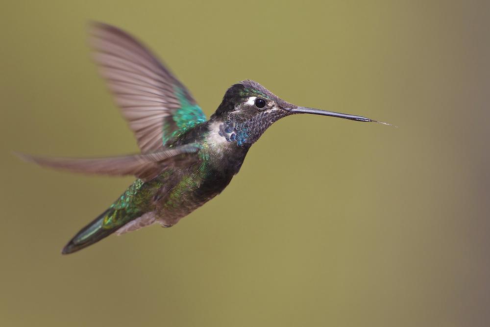 Magnificent Hummingbird - Eugenes fulgens - male