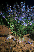A western harvest mouse (Reithrodontomys megalotis) forages for food under a penstemon shrub. The Natuer Conservancy's Zumwalt Prairie Preserve in NE Oergon.