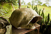 Carapace remnants from dead giant galapagos tortoises on display in the highlands of Santa Cruz Island, Galapagos Archipelago - Ecuador.