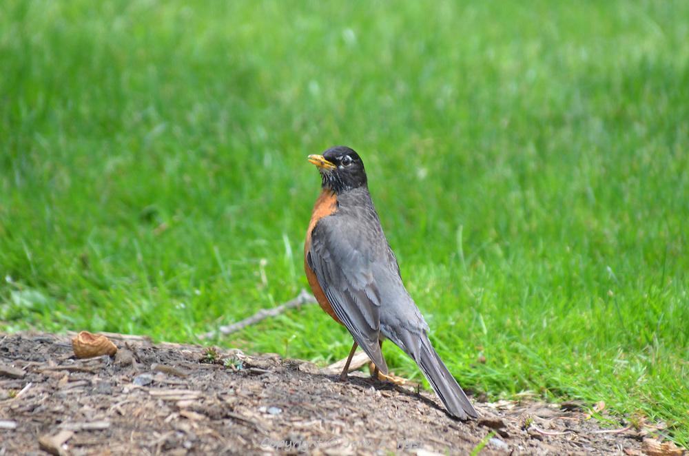 A robin having a noontime snack in the Boston Public Garden, Boston, MA