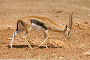 THOMSON'S GAZELLE (Gazella thomsoni)