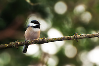 A black-capped chickadee perches in a maple tree south of Seattle.