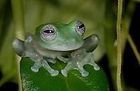 Cochranella albomaculata - White-spotted Leaf Frog