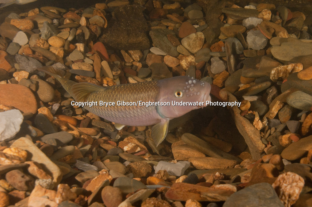 River Chub<br /> <br /> Bryce Gibson/Engbretson Underwater Photography