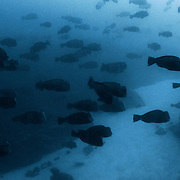 Bumphead parrotfish (Bolbometopon muricatum) gathering in shallow water just after sunrise, in preparation for group spawning involving thousands of fish. These aggregations seem to occur often when there is a signficant level of suspended particles due to current and tide conditions. Coupled with low light levels, these conditions may provide the optimal chance for fertilized eggs to escape with the current and grow into fish larvae. Photographed in Palau.