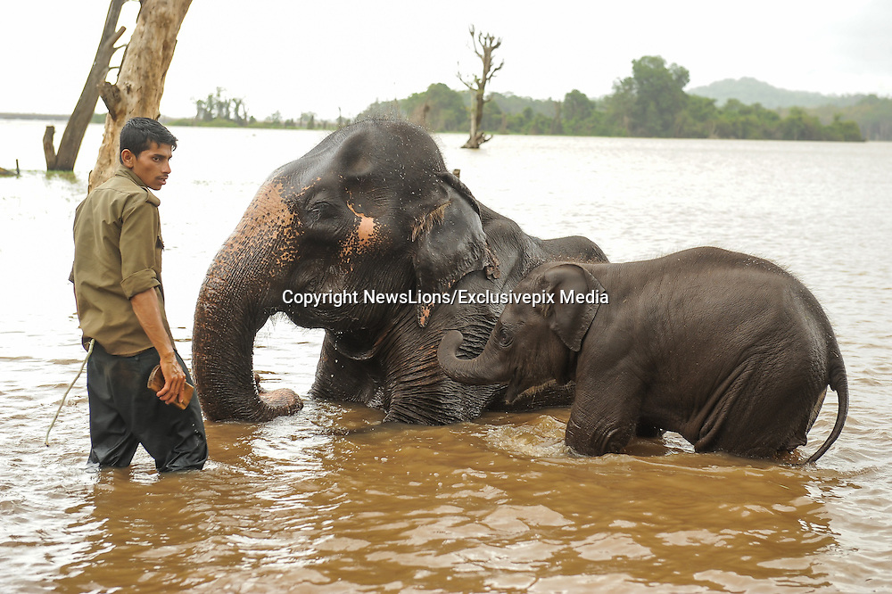 Baby elephant plays with mum at an elephant spa in India<br /> <br /> A captive elephant plays with its mother at the Sakrebailu Elephant Camp at  Shimoga, Karnataka, India. Situated at a distance of 14 km from the Shimoga town on the Shimoga-Thirthahalli Road, it is considered to be the best camp for training elephants in the state. The camp is major attraction for wildlife enthusiasts and tourists as it is one of those ecotourism centres that offers general people an opportunity to look at the tuskers from close quarters.<br /> <br /> The camp houses elephants that require proper attention and/or training. The elephants may require training or attention due to a number of reasons such as illness, behavourial issues and deficiency in nutrition. The wild elephants are also brought in for training at the camp, situated on the banks of river Tunga. The main attraction of the camp is the interaction session allowed between the visitors and the elephants. Unlike other elephant camps of the state, this camp allows visitors to interact with the tuskers from a close distance. Such a session can last for up to 2 to 3 hours. Visitors have to reach the camp early in the morning to be able to watch the elephants being bathed in the water of the Tunga River by the mahouts. They can also watch the big animals enjoying their drink and then proceeding towards their feeding area. The place holds special attraction for kids as they get to see the large creatures enjoying by themselves in the water.<br /> ©NewsLions/Exclusivepix Media