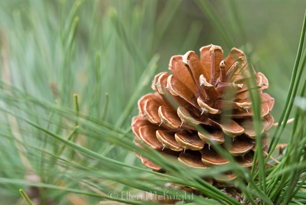 Pitch Pine Cone - Pinus rigida